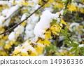 weeping forsythia, snow, snowy 14936336