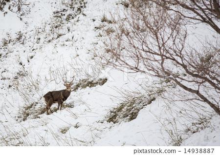 Deer on snow 14938887