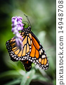 Monarch Danaus Plexippus 14948708
