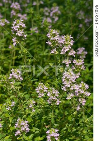 Orange balsam time, Labiaceae, thyme, herb tea, Mediterranean coast 14957096