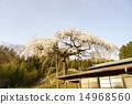 ร้องไห้ดอกซากุระในชิโมดะ 14968560