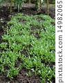 萌芽 嫩芽 菜園 14982065