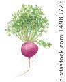 水彩 水彩画 植物的 14983728