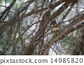 Squirrel on tree 14985820