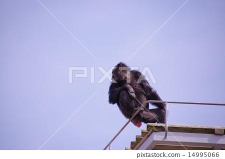 Chimpanzee with cuckoo 14995066