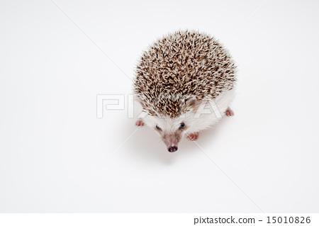 Hedgehog 15010826