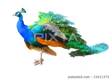 孔雀 鳥兒 鳥 15011375