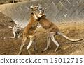 有袋類動物 袋鼠 相撲 15012715