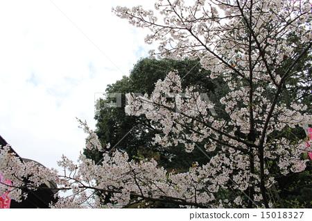 樱花 樱桃树 多云 15018327