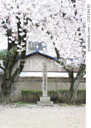 盛开 樱花 樱桃树 15018430