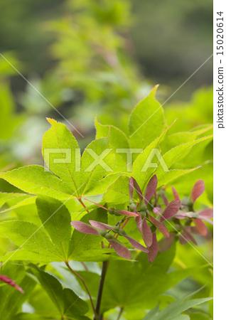 Maple seed - Stock Photo [15020614] - PIXTA