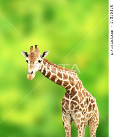 Giraffe 15036120