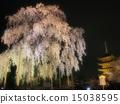 Toji and cherry blossoms 15038595