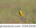 野生生物 鸰 黄色 15042646