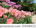 Tulip 15048013