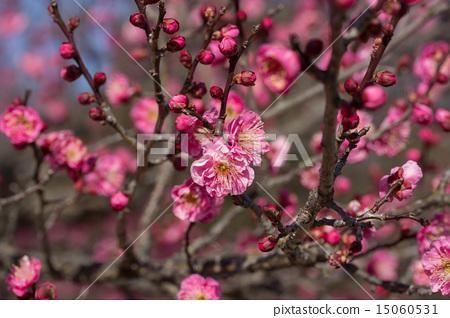 Red plum 15060531