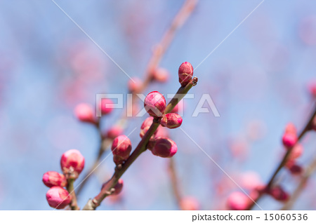 Red plum 15060536