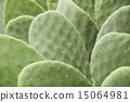 仙人掌 仙人掌屬植物 仙人掌屬 15064981