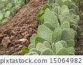仙人掌 仙人掌屬植物 仙人掌屬 15064982