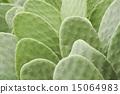 仙人掌 仙人掌属植物 仙人掌属 15064983