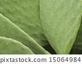 仙人掌 仙人掌屬植物 仙人掌屬 15064984