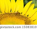 蜜蜂 巨大 宏观 15083810