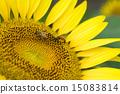 蜜蜂 巨大 宏观 15083814