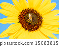 蜜蜂 巨大 宏观 15083815