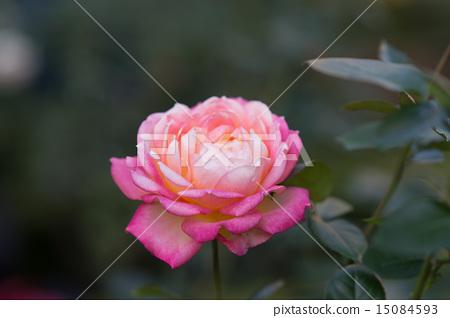 Morning cloud (rose) 15084593