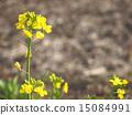 flowering, plant, rape 15084991