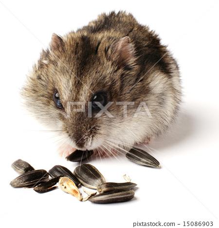 greedy little hamster 15086903