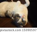 pussy, Scottish fold, cat 15090597