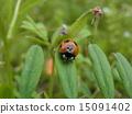 Ladybug 15091402