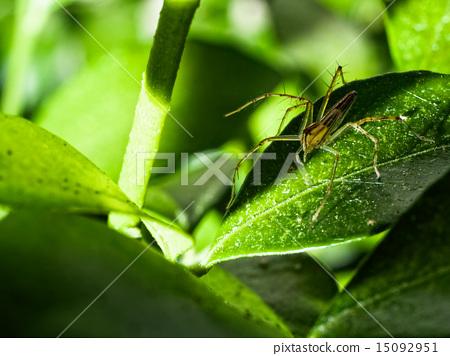 Lynx Spider (Oxyopes Macilentus) 15092951