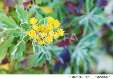 海邊的花·白色開花的葉子是美麗的isogic花·水平位置 15096007