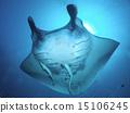 黄貂鱼 蝠鲼 光线 15106245