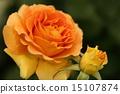 玫瑰 15107874