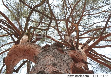 소나무 거목 15127122