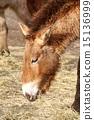 przewalski's horse 15136999