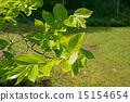 柿子幼叶 15154654