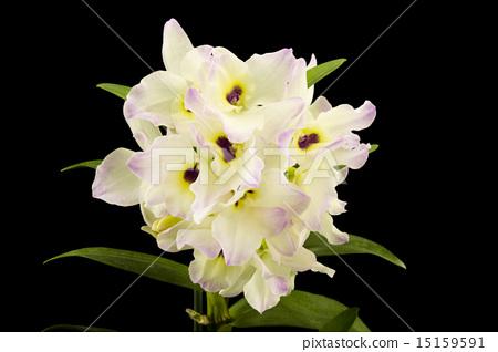 Beautiful white innocent orchid Phalaenopsis  15159591