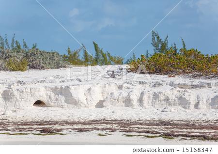 Island iguanas, wildlife. Cayo Largo 15168347
