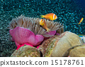 Clown fish in anemone 15178761