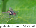 isolated fly on the green background 15179141