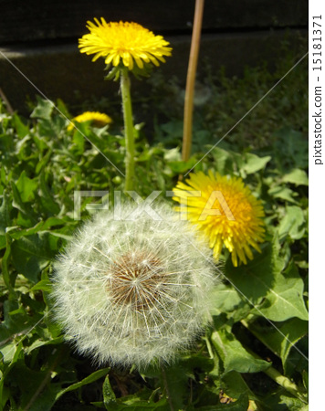 Dandelion city dandelion White fluff and yellow flowers 15181371