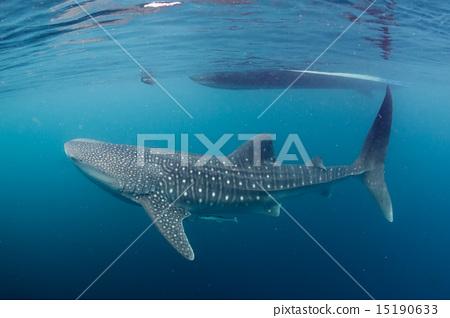 Whale Shark close up underwater portrait 15190633