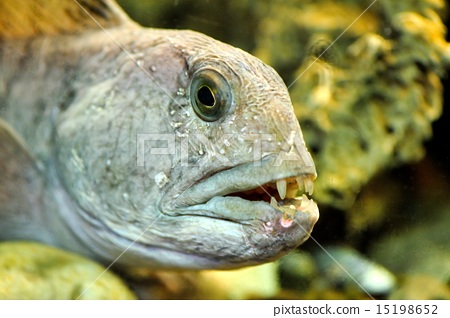 striped catfish 15198652