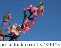 blooming peach 15230045