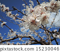 blooming apricot 15230046