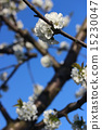blossom cherry 15230047